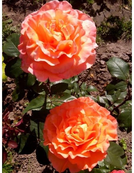 rosemary harkness łososiowe róże wielkokwiatowe