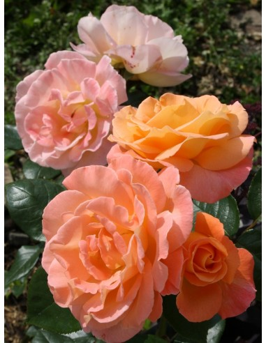 rosemary harkness róże wielkokwiatowe