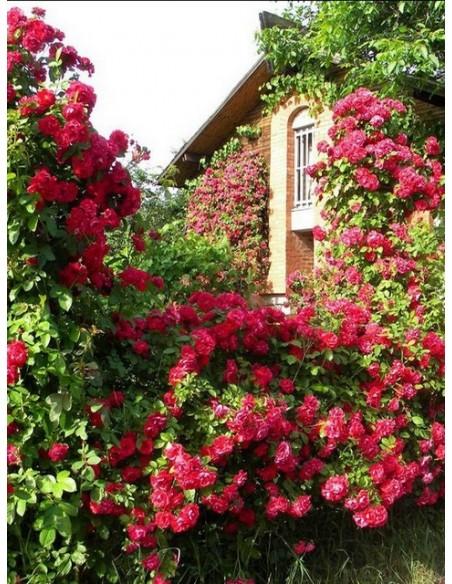 roza pnaca Flamentanz