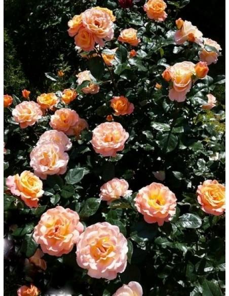 róże wielkokwiatowe rosemary harkness