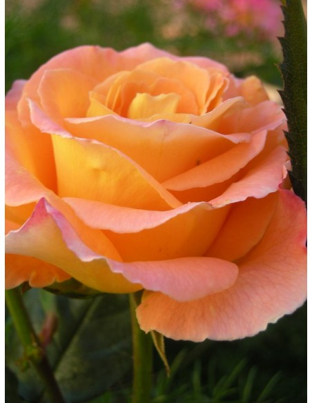 wielkokwiatowe róże rosemary harkness
