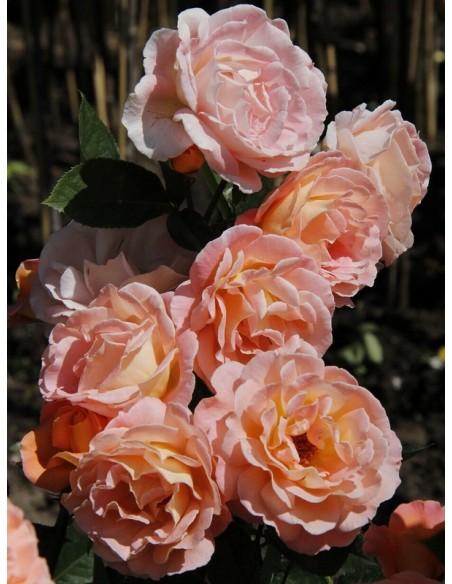 rosemary harkness wielkokwiatowe róże