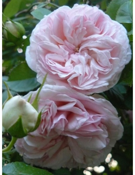 fantin latour róże stulistne