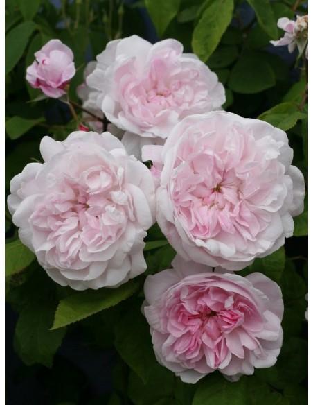 fantin latour róże stulistne jadalne