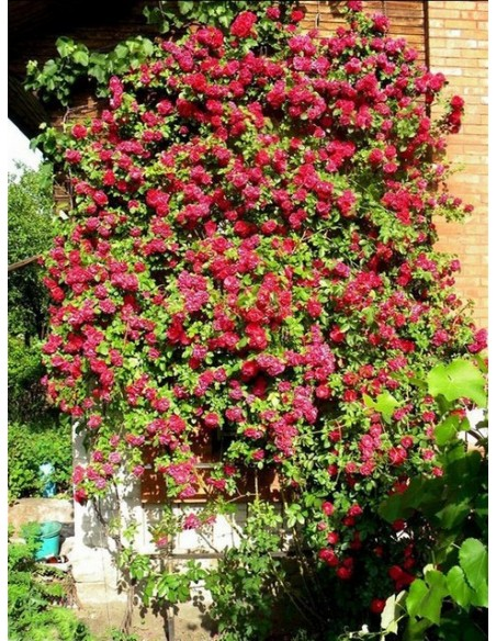 czerwone róże pnące Flammentanz