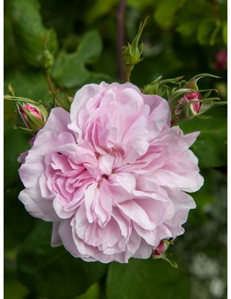 stulistne róże fantin latour