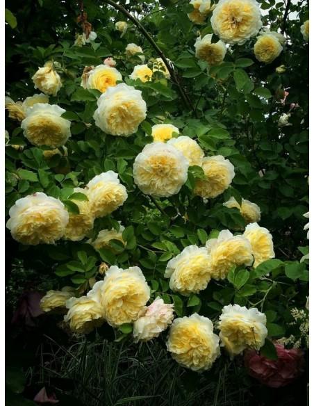 AUSwalker róze angielskie