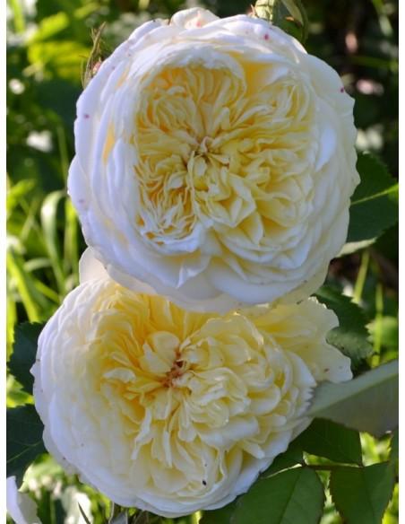 AUSwalker żółte róże angielskie