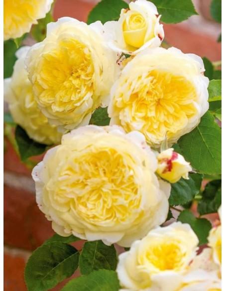 żółte róże angielskie AUSwalker