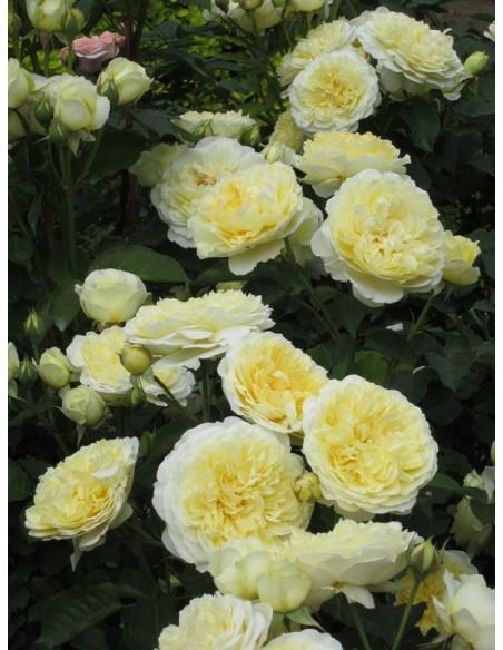 róże angielskie AUSwalker