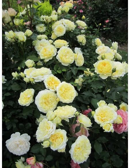 angielskie żółte róże AUSwalker