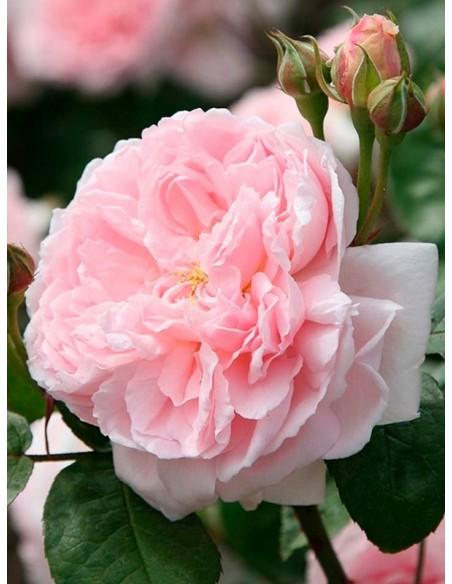 róże angielskie ausmak