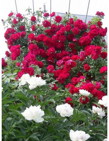 czerwone roze pnace Flamentanz
