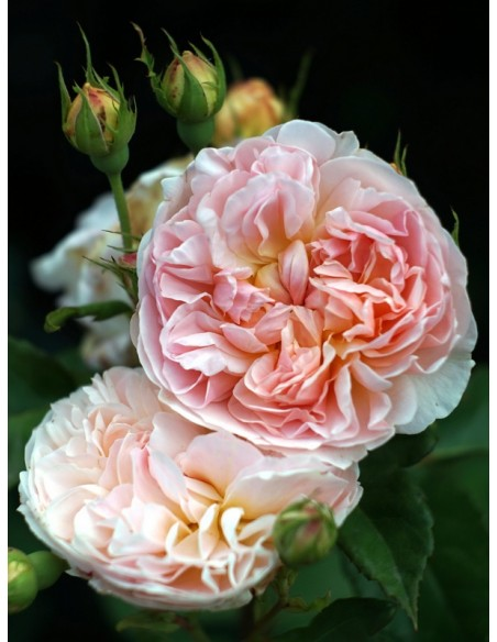 ausmak różowe róże angielskie