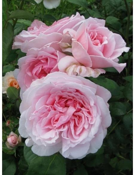 różowe róże angielskie ausmak