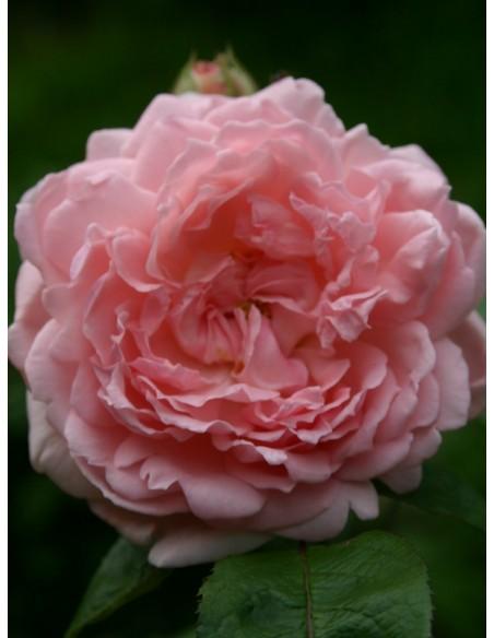różowe angielskie róże ausmak