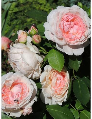 ausmak róże angielskie