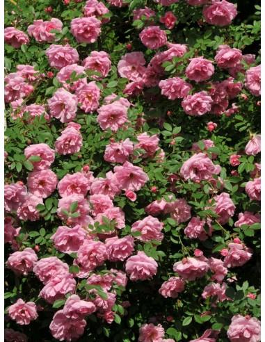 John Davis róże kanadyjskie