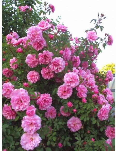 kanadyjskie róże John Davis