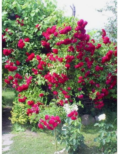Flamentanz róże pnące