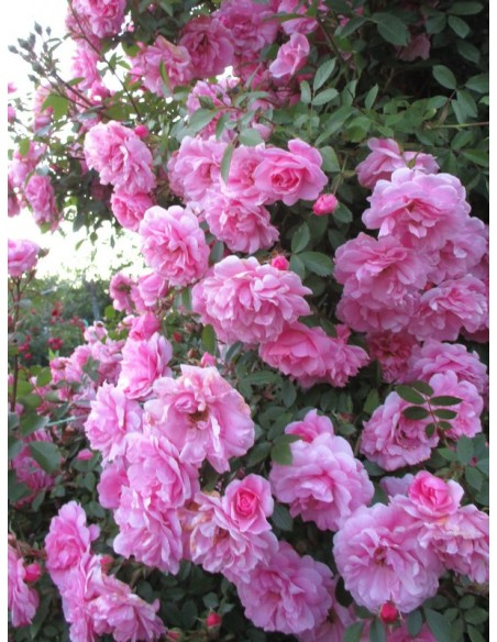 odporne kanadyjskie róże John Davis