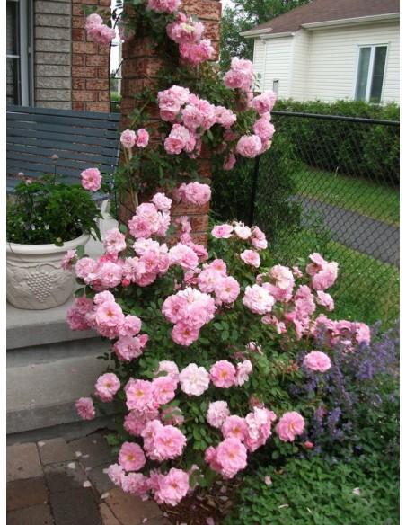 John Davis kanadyjskie róże