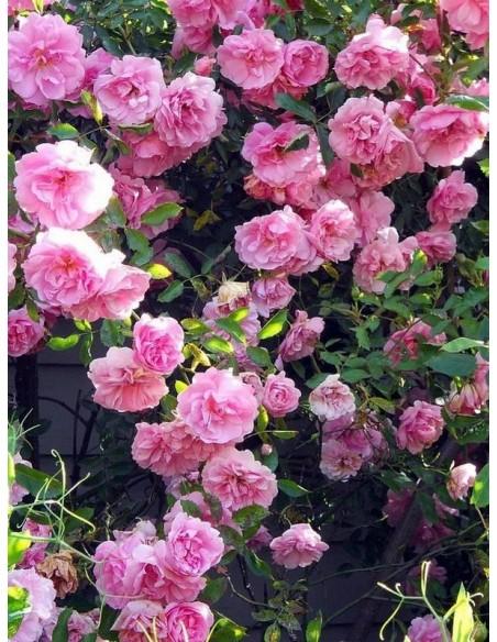 odporne róże kanadyjskie John Davis