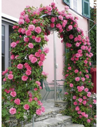 Zephirine Drouhin róże historyczne