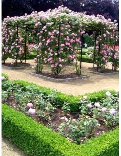 róża pnąca Bantry Bay