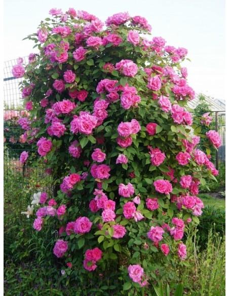 Zephirine Drouhin historyczne róże