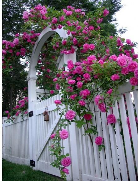 historyczne róże Zephirine Drouhin