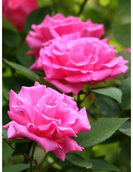 róże historyczne Zephirine Drouhin