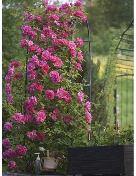 różowe róże historyczne Zephirine Drouhin