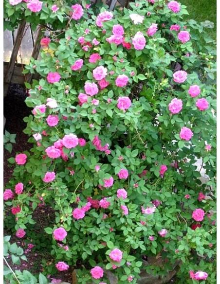 róże historyczne Zephirine Drouhin burbońskie