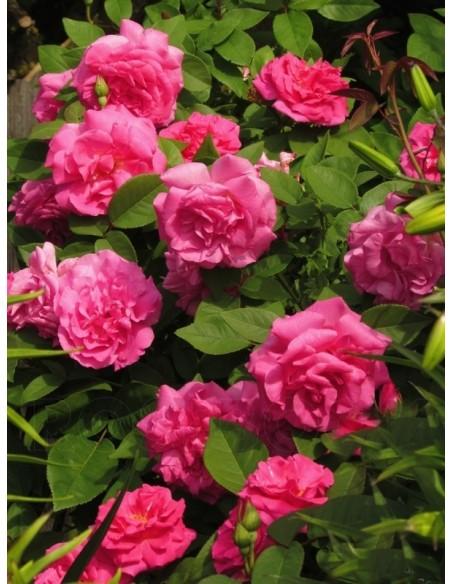 burbońskie róże historyczne Zephirine Drouhin