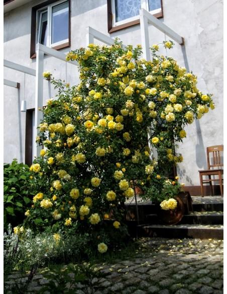żółte róże pnące golden showers