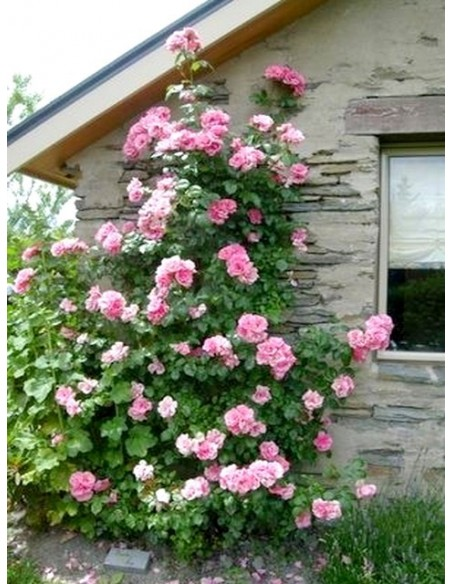 Bantry Bay pnące roze