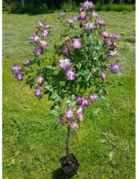 róże pienne Veilchenblau