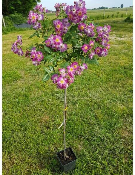 pienne róże Veilchenblau