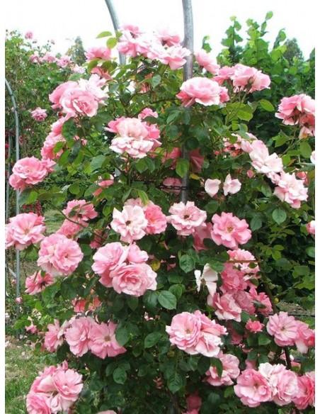 róże pnące Bantry Bay