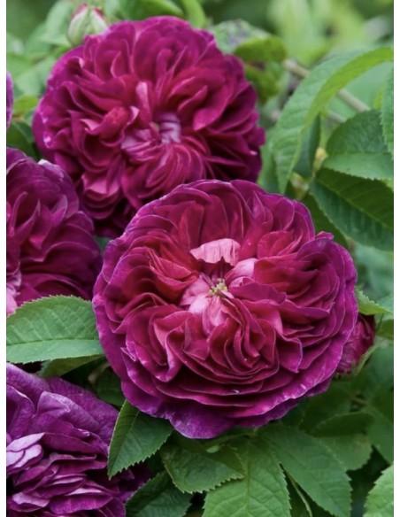 Charles de Mills róże historyczne