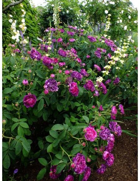róże Charles de Mills historyczne