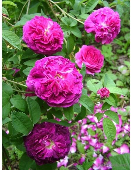 róże Charles de Mills historyczne francuskie