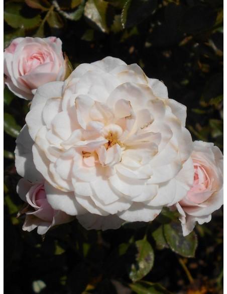 Święta Tereska róże polskie miniaturowe