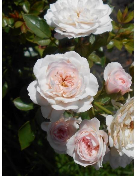 miniaturowe róże Święta Tereska