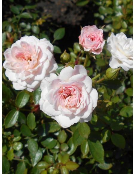 polskie róże miniaturowe Święta Tereska