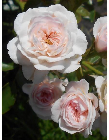 Święta Tereska róże miniaturowe