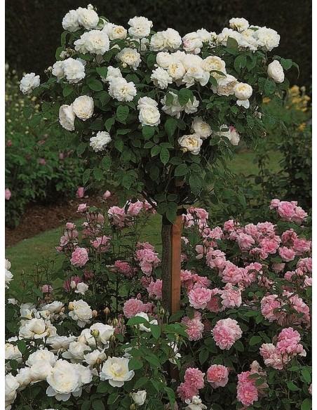 auscat róże pienne