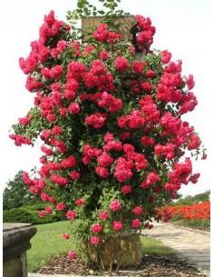 roze pnace Paul's Scarlet