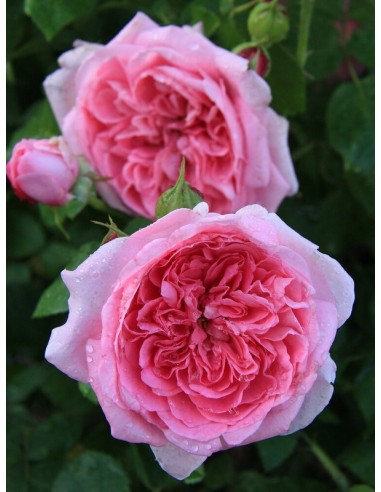 pachnące róże angielskie AUSbord